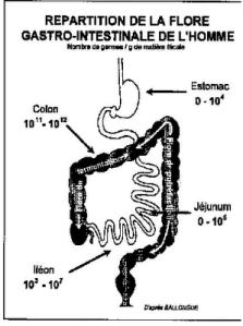 flore intestinale
